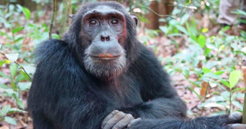 Chimp Trekking in Kibale National Park, Chimpanzee Tracking